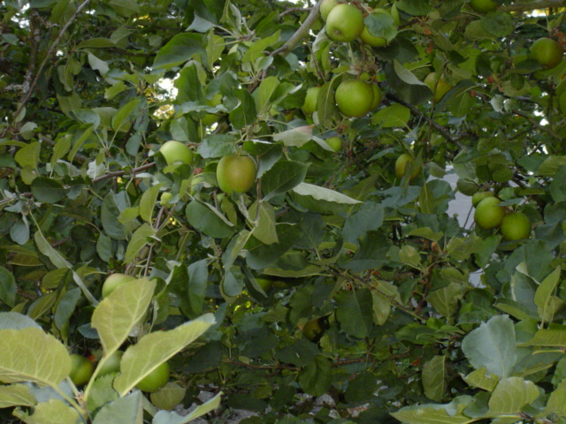 Apple tree heavy-burdened with fruit